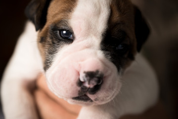 EngAm Bulldog Puppy