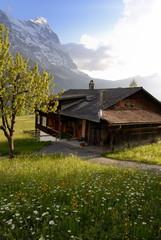 Spring alpine flower meadow and chalet, Grindelwald, Bern, Switzerland, Europe
