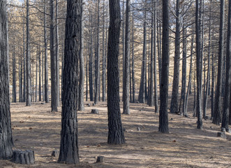 Close-up view of pine trees after a recent Forest Fire. The tree trunks are darkened and many of the branches are burned and missing their pine needles.