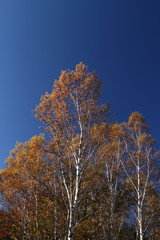 秋の白樺林