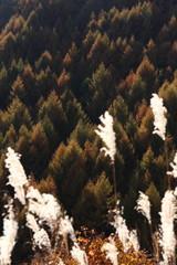秋の唐松林