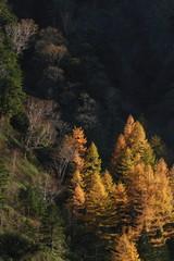 唐松林の黄葉