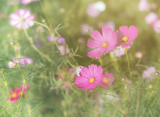 Wall Mural - Pink cosmos flower full bloom in field. Selective focus. Vintage
