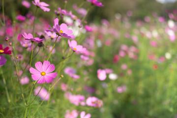 Fotomurales - Pink cosmos flower full bloom in field. Selective focus. Vintage
