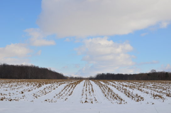 Rows of a Snow covered corn field on a sunny winter day