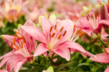 Pink lily flower,Flower, Lily, Blossom, Bouquet, Flower Head