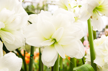 White lilies in a garden,Flowerbed, Plant, Lily, White Color, Flower