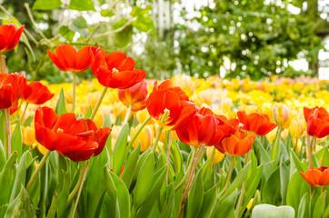 Tulips in springtime,Garden Tulips,tulip,Flower, Flower Head, Flowerbed, Petal, Plant