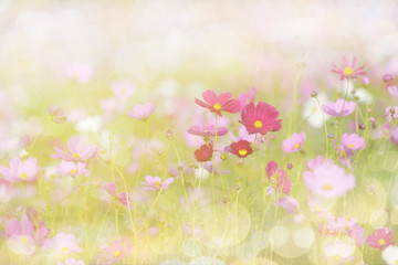 Cosmos flower picture in the form of a double-exposure.