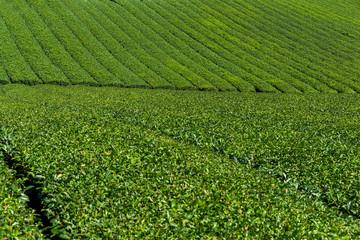 Tea plantation meadow