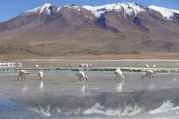 Flamingoes at Laguna Adeyonda on Altiplano, Potosi Department, Bolivia, South America