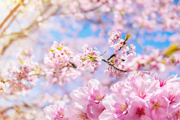 Soft Focus of Pink Cherry Blossom or Japanese Sakura Flower are Blooming in Spring, Spring Signature of Japan