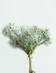 Branch of pine tree on white background