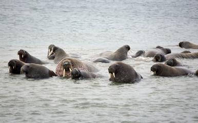Walrus family in the sea