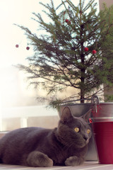 comfortable meeting new year/ whiskered cat resting on a table under a festive Christmas tree standing by the window