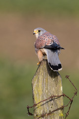 Wall Mural - Kestrel perched on a fence post looking over its shoulder with green grass field in background.