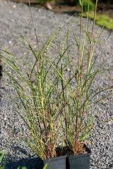 Miscanthus sinensis Rotfeder