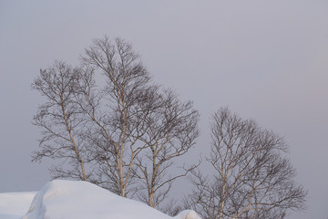 Birch trees in the snow during a snowfall