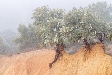 Encinas sobre terraplén de arcilla. Quercus ilex.