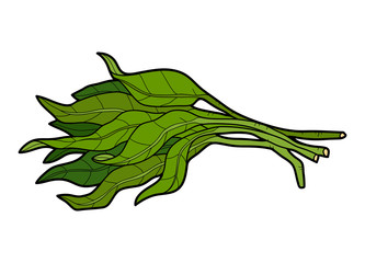 Vector color illustration, vegetables, Water spinach