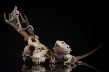 Fototapeten Chamaleon Kameleon na porożu z agamą brodatą u boku