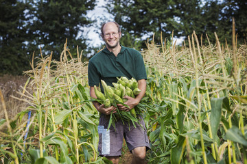 A man harvesting ripe sweet corn cobs, with arms full of cobs.