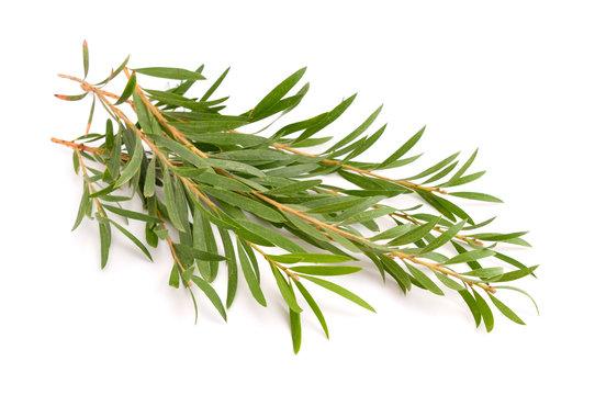 Melaleuca twigs.