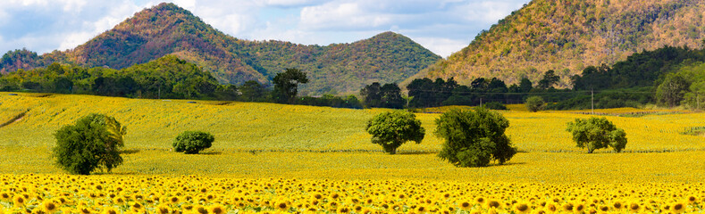 Panoramic field of sunflowers.