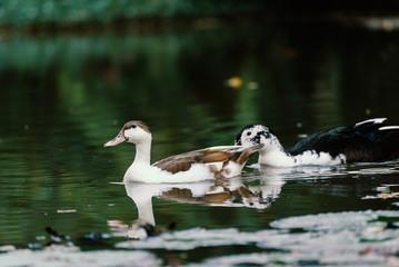 White ducks in a pond.
