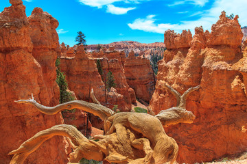Dry Trunk and Hoodoos in Bryce Canyon National Park.