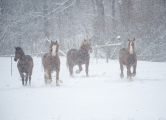 Draft horses running in snowy pasture