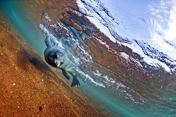 A sea lion in the shallow waters around Rabida Island, Galapagos, Ecuador, South America