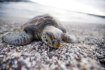 A Pacific green turtle, on the beach, Galapagos Islands, UNESCO World Heritage Site, Ecuador, South America