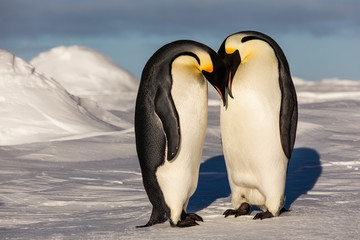 Emperor penguins putting their heads together