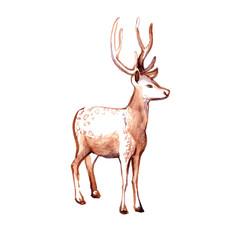 Deer. Watercolor illustration.