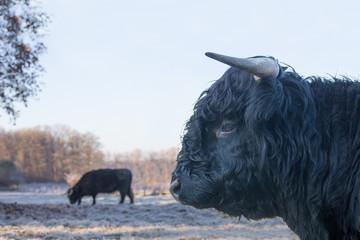 Fotorolgordijn Bison Head of black bull scottish highlander with cow outside