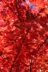 Vibrant fall color, red maple leaves of the tree canopy