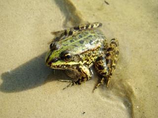 frog edible