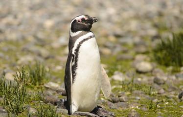 Penguin of Magellan.