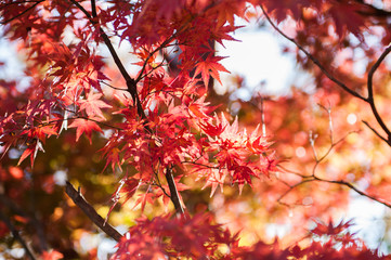 Maple trees in Autumn season.Japan