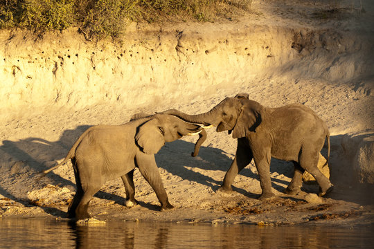 Two African elephants (Loxodonta africana) touching trunks on a riverbank, Chobe River, eastern Caprivi Strip, Namibia
