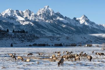 Elks (Cervus canadensis) grazing in Elk Wildlife Refuge