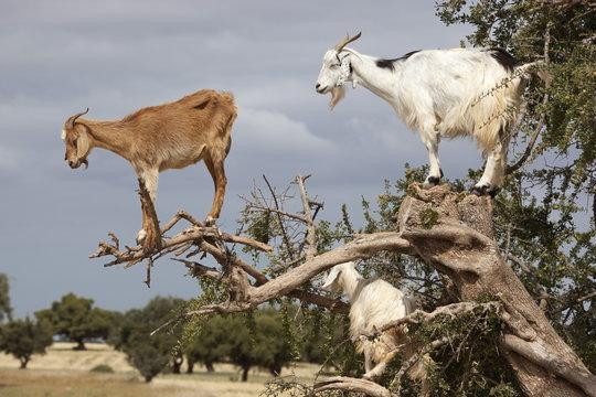 Goats up Argan tree, near Essaouira, Morocco