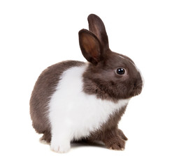 The two-color rabbit isolated on white background
