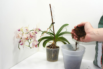 The process of transplanting small orchid.