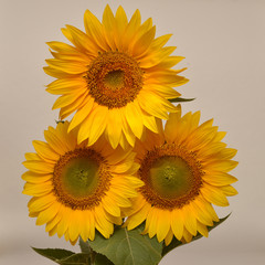 Bouquet of sunflowers isolated on white background. Flat lay, to