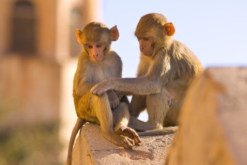 Monkeys at Tiger Fort, Jaipur, Rajasthan, India, Asia
