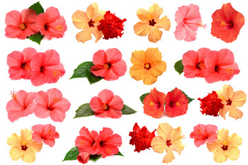 Fototapete - Collection of colored hibiscus flowers with leaves isolated on w