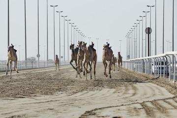 Camel Racing at Al Shahaniya race track,  Doha, Qatar
