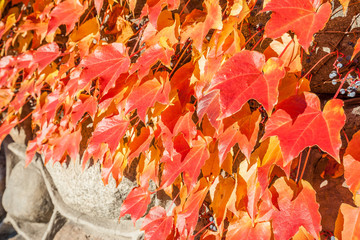 Red ivy leaves on stone wall in autumn